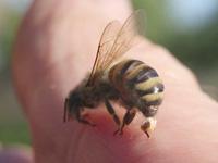 ハチに刺される写真