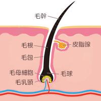 皮膚の構造と毛の仕組みの写真