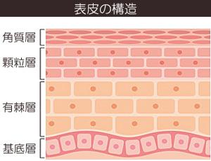 皮膚の表皮の構造の画像