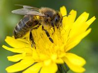 ミツバチの写真
