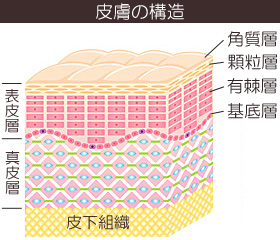 皮膚の仕組みと構造の画像