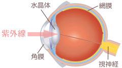 紫外線とメラニン合成