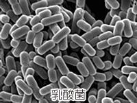 乳酸菌の画像