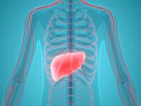 肝臓の画像