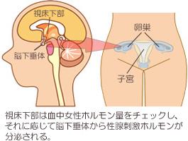 性腺刺激ホルモンと女性ホルモン