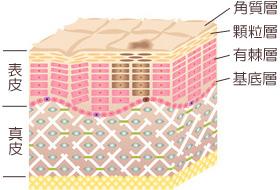 皮膚の構造とシミが発生する仕組みの画像