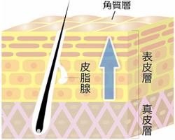 ニキビ 皮膚の構造